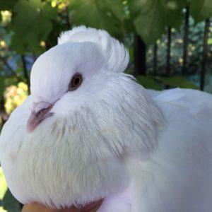 White Dove - Special Occasions